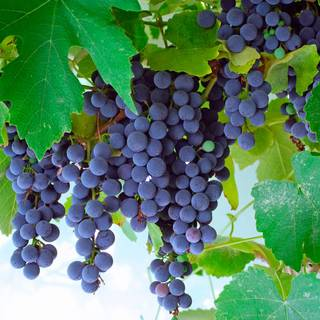 Concord Blue Grape