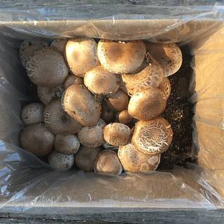 Mushroom Portabella Kit Image