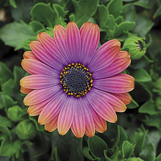 Zion Copper Amethyst African Daisy (pack of 3) Image