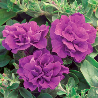 Petunia Double Wave® Blue Velvet