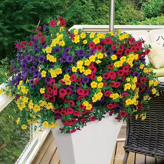 Calibrachoa MiniFamous® Gold and Bold Combination (pack of 3) Image