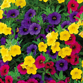 Gold and Bold MiniFamous Calibrachoa Annual Plant Combination