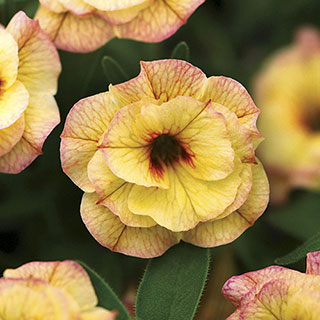 MiniFamous® Calibrachoa Double Rose Chai (pack of 3)