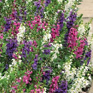 Angelonia Serenita® Mix Plants