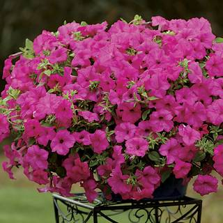 Petunia Surfinia® Sumo Pink (pack of 3)