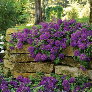Verbena EnduraScape™ Dark Purple Image