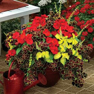 Summer Sizzle Sunpatiens® Combination Image