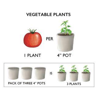 Sugar Rush Hybrid Tomato Plants (pack of 3)