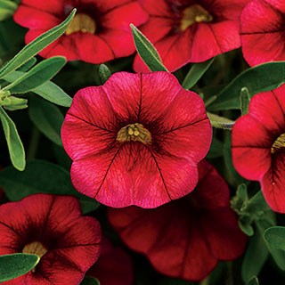 MiniFamous® Calibrachoa Neo Cherry Red