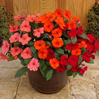 SunPatiens® Summer Salsa Combination (pack of 3)
