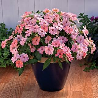 SunPatiens® Pink Kiss (pack of 3)