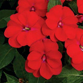 SunPatiens®Vigorous Red Impatiens (pack of 3)