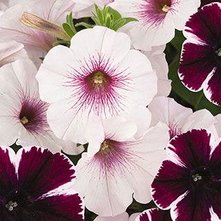 Petunia Confetti Garden™ Marvelous Orchid Combination