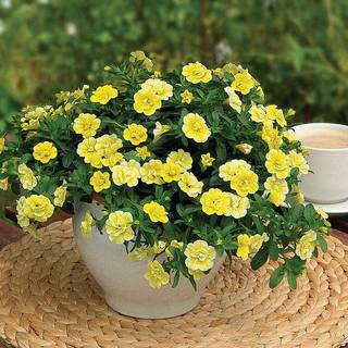 MiniFamous Double Lemon Calibrachoa (pack of 3)
