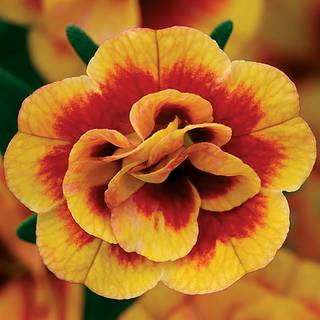 Calibrachoa MiniFamous™ Neo Double Orangetastic