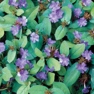 Blue Plumbago Image