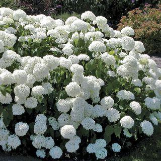 Annabelle Hydrangea Image