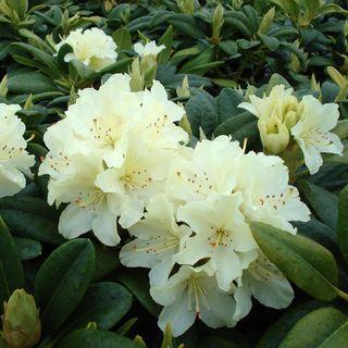 Capistrano Rhododendron Image