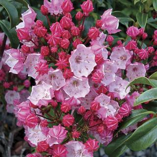 Kalmia 'Olympic Fire'
