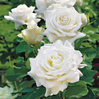 Big bloom roses grandiflora hybrid tea climbing jackson perkins pope john paul ii hybrid tea rose mightylinksfo