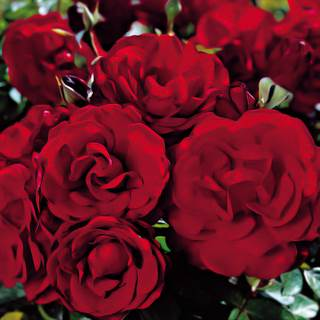 Black Cherry Floribunda Rose Image