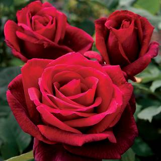 Mister Lincoln Hybrid Tea Rose Image