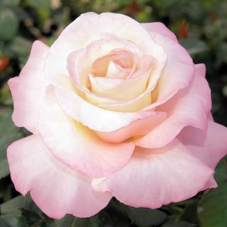 Crescendo® Hybrid Tea Rose