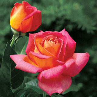 'Summer Nights' Hybrid Tea Rose