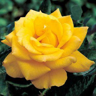 'Henry Fonda' Hybrid Tea Rose