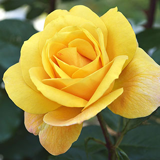 'Radiant Perfume' Grandiflora Rose