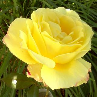 Radiant Perfume Hybrid Tea Rose