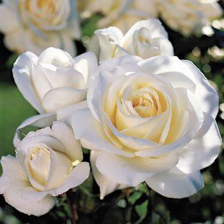 'Moondance' Floribunda Rose Image