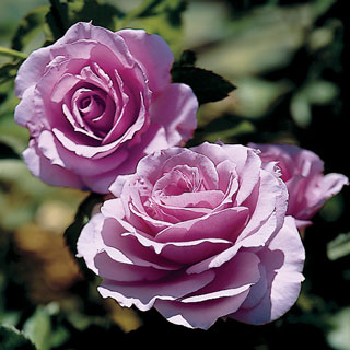 Fragrant Lavender Simplicity Hedge Rose