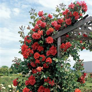 Blaze of Glory Climbing Rose