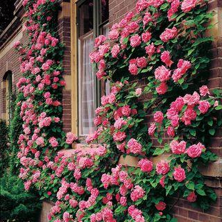 Zephirine Drouhin Climbing Rose Image