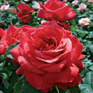Lady Bird Hybrid Tea Rose