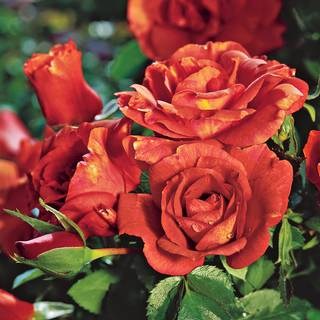 Laura Bush Floribunda Rose Image