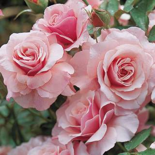 Our Lady of Guadalupe Floribunda Rose Image