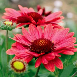 Gaillardia 'Arizona Red Shades'