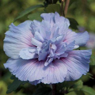 Hibiscus Blue Chiffon™