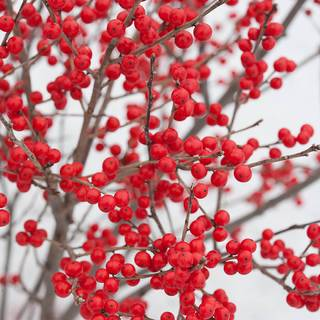 Ilex Berry Poppins™ Image