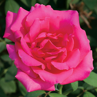 'Astounding Glory' Hybrid Tea Rose