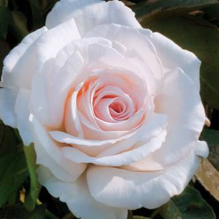 'Clouds of Glory' Hybrid Tea Rose