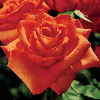 Wildfire Hybrid Tea Rose Image