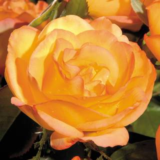 'Summer Surprise' Hybrid Tea Rose
