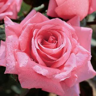 'Beautiful Dreamer' Hybrid Tea Rose