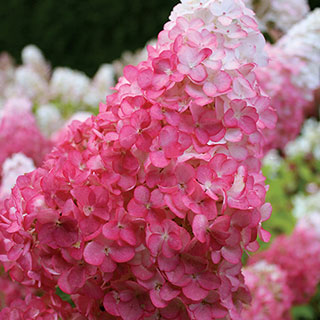 Hydrangea Vanilla Strawberry™ Image