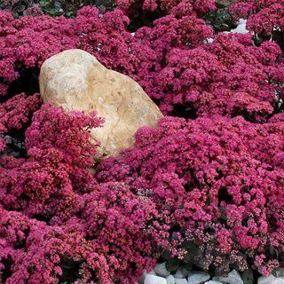 SunSparkler® Dazzleberry Stonecrop Image