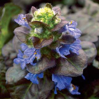 Black Scallop Bugleweed Image