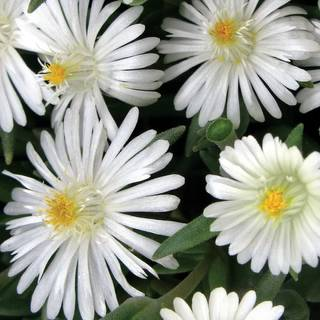 Delosperma Jewel of Desert Moonstone Image